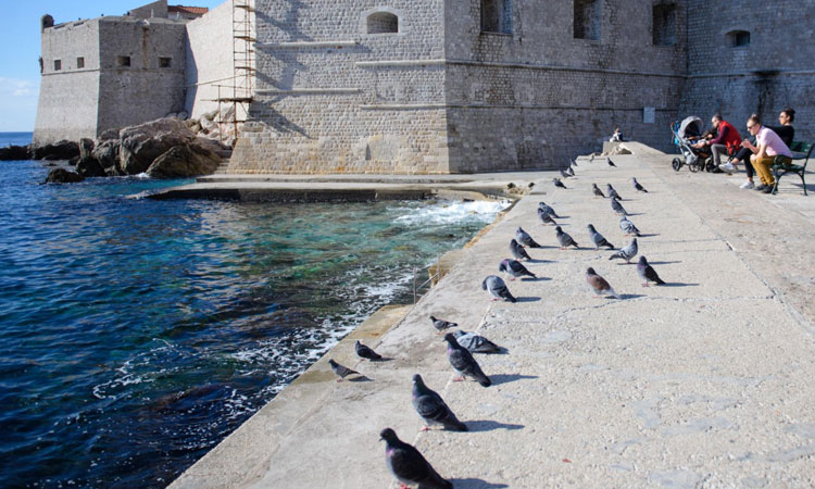 dubrovnik is full of pigeons 2018