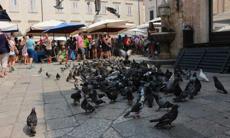 dubrovnik pigeons come home