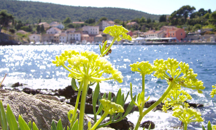 flower on losinj