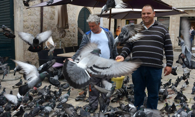 Feeding time for the Dubrovnik pigeons