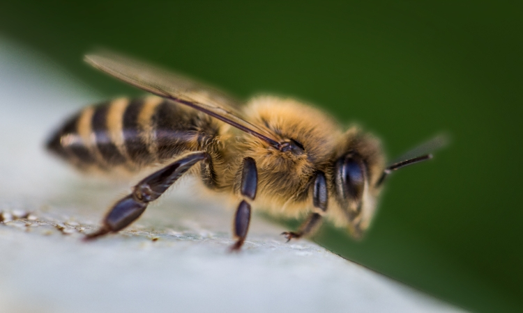 Bees trained to detect explosives successfully find landmines in Croatia