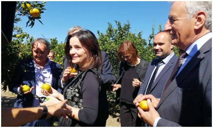 Tangerine season officialy opened in the Neretva Valley