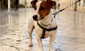 Cutest Jack Russell brightens up Dubrovnik's Instagram