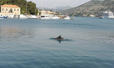 Dolphin spotted in Dubrovnik