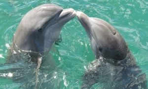 Dolphin baby boom in Cres-Losinj waters