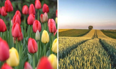 Tulips in Netherlands and barley in Croatia