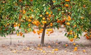 Record crop of mandarins this year but no one to pick them