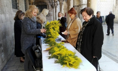 Dubrovnik turns yellow during the Mimosa Day