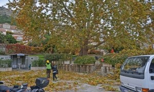 PHOTO - Plane tree sanation starts at Pile
