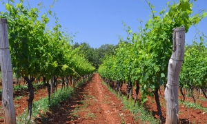 Croatia sees second biggest growth in wine production in EU this year