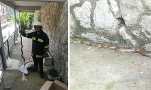 Two snakes cause emergency services to intervene