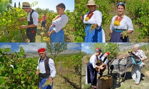 PHOTO GALLERY – Picking grapes and making wine in Konavle