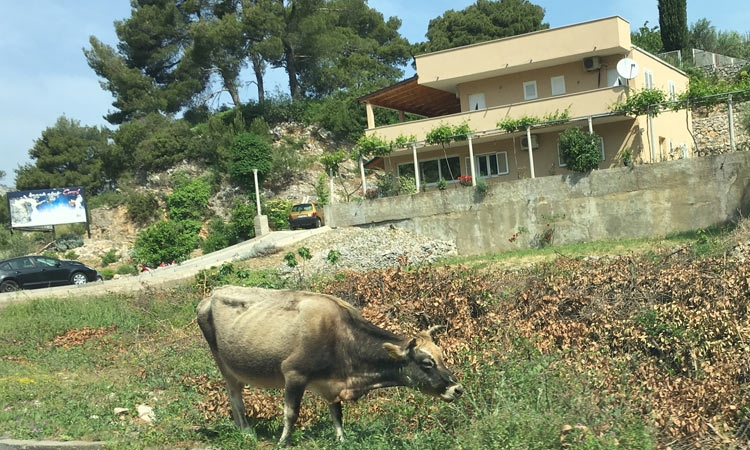 Cow feeds on busy Dubrovnik road