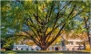 EUROPEAN TREE OF 2020: Vote for Adam, the ginkgo tree from Daruvar!