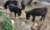 Lokrum donkeys find a new home on Peljesac