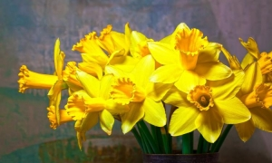 Day of narcissus to be held in the Old City tomorrow