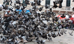 Dubrovnik Details – Feeding time in the square