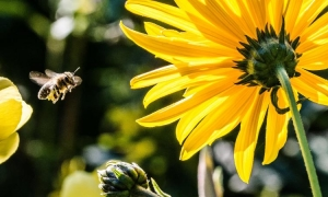 There are around 725 species of bees in Croatia – do you know why they are important?