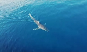 VIDEO - Shark spotted near the island of Korcula