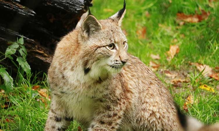 Croatia to repopulate with lynxes from the Carpathians