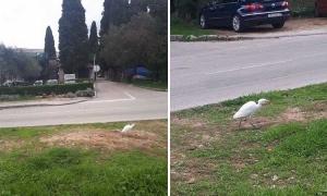 Graceful egret wanders in Dubrovnik