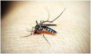 Mosquito exhibition to open at the Natural History Museum Dubrovnik